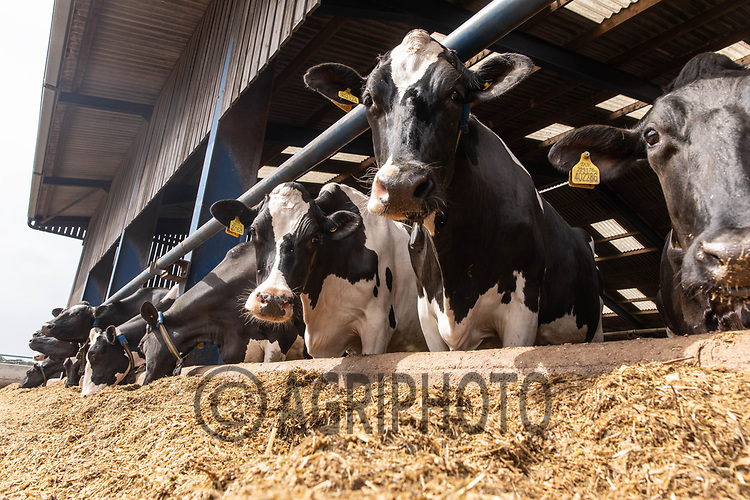 6-7-2021 Dairy cows housed indoors <br /> ©Tim Scrivener Photographer 07850 303986<br />      ....Covering Agriculture In The UK....