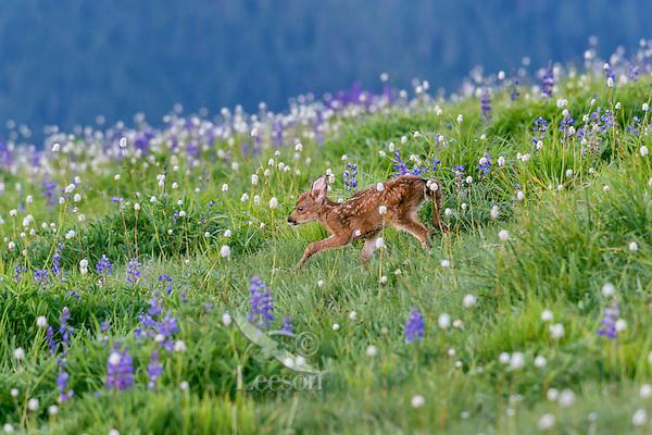 Columbian black-tailed deer (Odocoileus hemionus columbianus) fawn walking through subalpine meadow covered with lupine and bistort wildflowers.  Pacific Northwest.  Summer.
