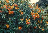 Pseudogynoxys chenopodioides Mexican Flame Vine aka Senecio confusus