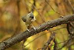 Tufted titmouse - Baeolophus bicolor<br /> Theodore Roosevelt Island, Washington, DC