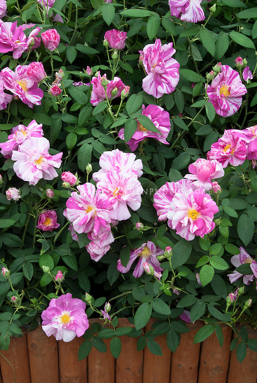 Rosa 'Rosamundi' (Gallica rose, 12th Century heirloom), striped red and pink stripes