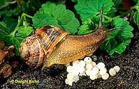 1Y08-056z  Land Snail - west coast snail laying eggs - Helix aspersa