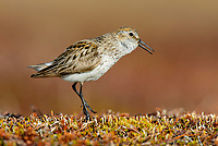 Western Sandpiper (Calidris mauri) singing on the ground. Yukon Delta National Wildlife Refuge, Alaska. June.