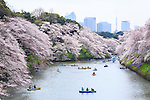 People enjoy cherry blossoms in full bloom from rowing boats at Chidorigafuchi on April 1, 2016, Tokyo, Japan. On Thursday, the Japan Meteorological Agency announced that Tokyo's cherry trees were in full bloom, three days earlier than usual, but two days later than last year. Chidorigafuchi is one of the most popular spots during this season, where thousands of visitors come to see the cherry blossom trees that line the Imperial Palace moat. (Photo by Rodrigo Reyes Marin/AFLO)