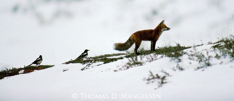 Scavengers follow the predators to feed on leftovers, and the magpies following the red fox will eventually be rewarded with food.<br /> Denali National Park, Alaska