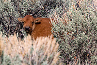 Bison calf (Bison bison) in the sagebrush at Mammoth Hot Springs in Yellowstone National Park.