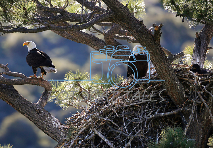 Bald eagle nest near Markleeville, Calif., on Thursday, May 28, 2020. <br /> Photo by Cathleen Allison