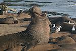 bull elephant seal trumpets in harem Northern elephant seal bulls