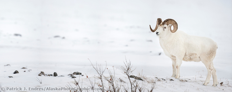 Panorama of dall sheep ram on the snow covered tundra of the Brooks Range mountains in Alaska's Arctic.