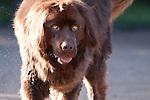Cuchulainn, the Expectant Brown Newfoundland Dog