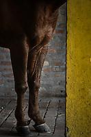 VILLAVICENCIO - COLOMBIA. 13-10-2018: Caballos de coleo durante el 22 encuentro Mundial de Coleo en Villavicencio, Colombia realizado entre el 11 y el 15 de octubre de 2018. / Coleo horses during the 22 version of the World  Meeting of Coleo that takes place in Villavicencio, Colombia between 11 to 15 of October, 2018. Photo: VizzorImage / Gabriel Aponte / Staff