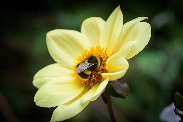 Bee on Dahlia 'Summertime', mid August.