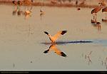 Snow Goose Landing at Sunset, Bosque del Apache Wildlife Refuge, New Mexico