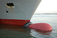 """sei whale, Balaenoptera borealis, dead body on bulbous bow of ship, Norfolk, Virginia, USA - the vessel was running dead slow to pick up a pilot, was not in the """"area to be avoided"""" and was not deemed to be at fault."""