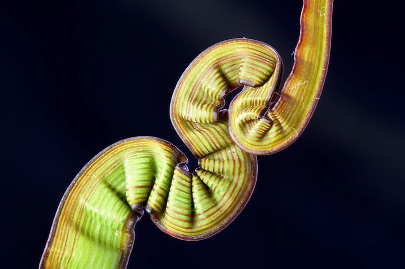 Strange growth pattern on ornamental grass blade.