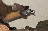 Baummarder hat eine Maus auf Holzstapel erbeutet, mit Beute, Baum-Marder, Edelmarder, Edel-Marder, Marder, Martes martes, European pine marten