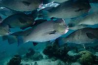 Bumphead Parrotfish, Bulbometopon muricatum, Sipadan Island, Malaysia.