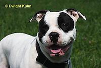 SH40-644z  American Bulldog, Close-up of face,  Canis lupus familiaris