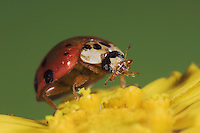 Ladybug Beetle, Coccinellidae, adult on flower, Uvalde County, Hill Country, Texas, USA, April 2006