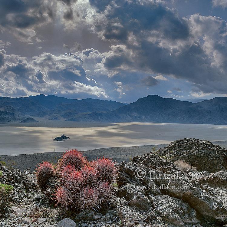 Cottontops, Echinocactuspolycephalus, The Racetrack, Death Valley National Park, California