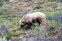 Brown Bear AK