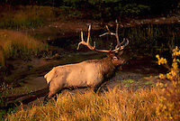 Jasper National Park, Canadian Rockies, AB, Alberta, Canada - Bull Elk, Wapiti (Cervus canadensis), standing at Watering Hole, Sunset