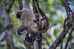 Woolly monkeys (Lagothrix lagotricha), Amazonas, Brazil