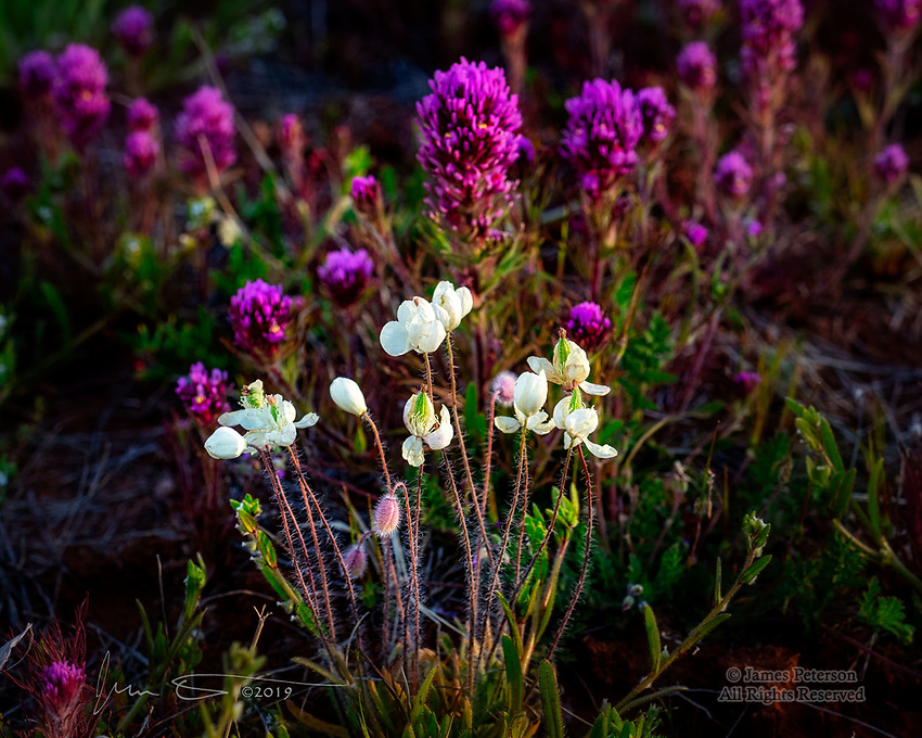 Cream Cups among Owl's Clover, Sedona ©2019 James D Peterson.  We had a rare wet winter this year (2019), and the local flora have responded beautifully!