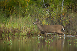 White-tailed deer walking in the shallow water of a northern Wisconsin wetland.