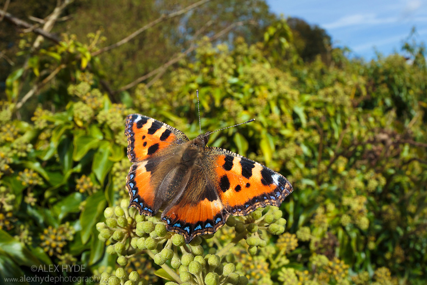 Small Tortoiseshell butterfly {Aglais urticae} feeding on Ivy {Hedera helix}. Peak District National Park, Derbyshire, UK. October.