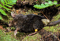 MB23-007a  Star-nosed Mole - with tags and radio transmitter on tail - Condylura cristata