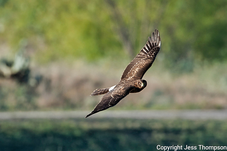 Northern Harrier, Inks Dam Fish Hatchery