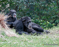 0209-08mm  Pair of Chimpanzees, Pan troglodytes © David Kuhn/Dwight Kuhn Photography