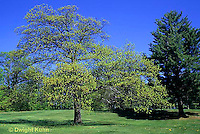 TT18-027d  Oak - tree - Quercus spp.