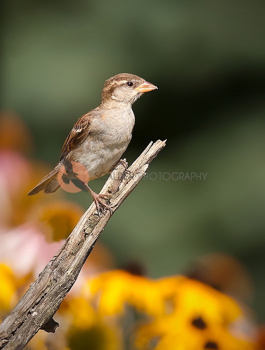 Field Sparrow perched on a branch in field of flowers