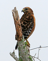 Adult red-shouldered hawk on dead tree. Seen during Christmas bird count at Bay City, TX.