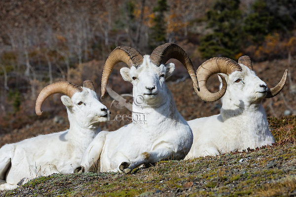 Dall sheep or Thinhorn sheep rams (Ovis dalli) resting/chewing their cud, Kluane National Park and Reserve, Yukon Territory. Sept.