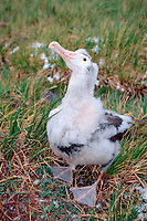 wandering albatross, Diomedea exulans, first-year bird, Prion Island, South Georgia Island, UK, Atlantic Ocean
