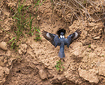 Belted kingfisher at nest site in northern Wisconsin.
