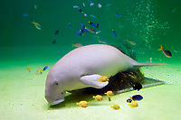 dugong, Dugong dugong, its food, amamo, Cymodocea sp., seagrass native to Japan, and various reef fish (c), Indo-Pacific Ocean