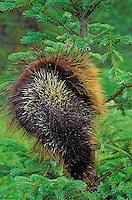 PORCUPINE in spruce tree. Displaying quills to ward off danger..Autumn. Rocky Mountains..(Erethizon dorsatum).