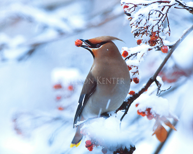 Bohemian Waxwing in winter snow with a mountain ash berry in its beak