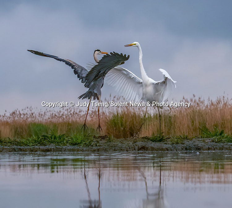 """A heron and egret put on a mid-air dance display as they come to blows whilst hunting for fish.<br /> <br /> The squabbling birds were captured on camera by Judy Tseng from San Fransisco who was visiting the Kiskunsági National Park in Hungry.<br /> <br /> Judy said, """"This is a great egret and and a great blue heron.  These birds can become very territorial over their particular feeding area.  In the end, the great egret failed to nab the blue heron's spot and he flew away.""""<br /> <br /> Please byline: Judy Tseng/Solent News<br /> <br /> © Judy Tseng/Solent News & Photo Agency<br /> UK +44 (0) 2380 458800"""