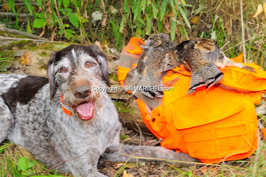 00279-022.05 Deutshc Drahthaar is lying next to log with pair of bagged ruffed grouse.  Dog is old, gray face.