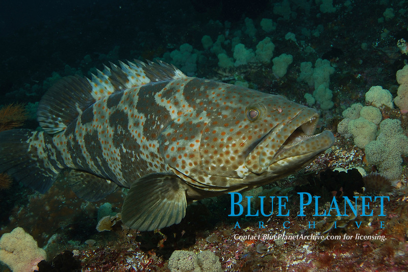 Brown Spotted Rock Cod, Epinephelus coioides, or Brown Spotted Groper. Flat Rock, Brisbane, Queensland, Australia, South Pacific Ocean