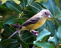 Bell's vireo adult