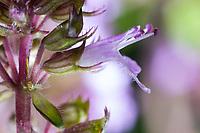 Feld-Thymian, Blüte, Einzelblüte, Thymian, Wilder Thymian, Feldthymian, Quendel, Breitblättriger Thymian, Arznei-Thymian, Gemeiner Thymian, Gewöhnlicher Thymian, Quendel-Thymian, Arzneithymian, Thymus pulegioides, Thymus pulegioides ssp. pulegioides, Sammelart Thymus pulegioides, Thyme, Wild Thyme, broad-leaved thyme, lemon thyme, Le thym faux pouliot, le thym à larges feuilles, le thym de bergère