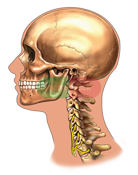 Brachial Plexus - Lateral view; this medical illustration depicts a lateral view of the brachial plexus.
