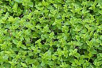 Orignaum Ingolstadt herb plant, oregano, culinary plant growing, closeup of leaves