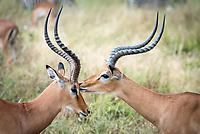 "Two impala ""kiss"" after a playful frolic."